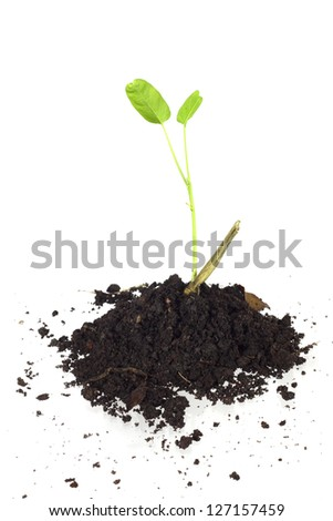 young  Ipomoea aquatica and soil isolated