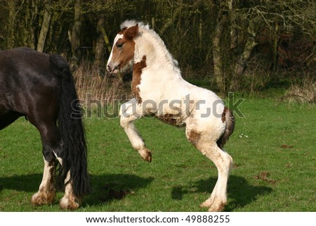 young Irish Cob colt foal - stock photo
