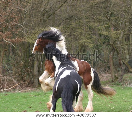 young irish cob stallions - stock photo