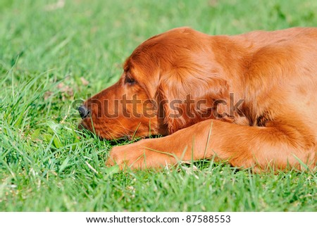 young Irish Setter Dog Puppy 4 months smells in the grass - stock photo