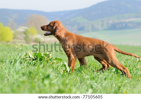 young Irish Setter Dog Puppy 4 months standing in the meadow - stock photo