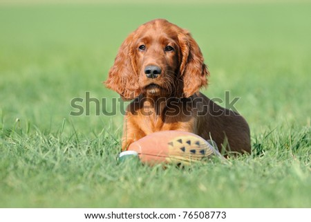 young Irish Setter Dog Puppy 4 months with duck in the meadow - stock photo