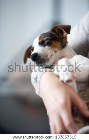 young Jack Russell dog sleeping Terier the hand, arm, her master's lap, lying, sleeping, resting - stock photo