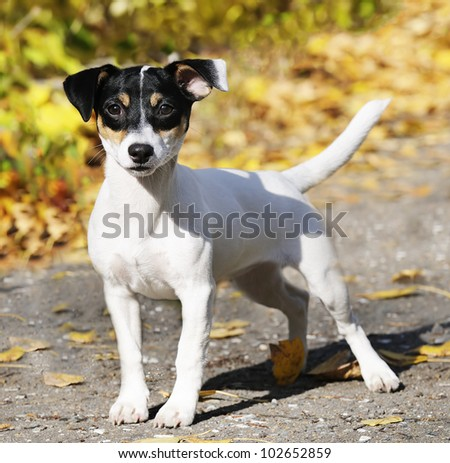 Young Jack Russell terrier dog outdoors portrait - stock photo