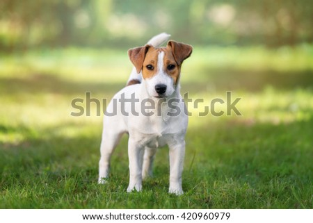young jack russell terrier dog posing outdoors