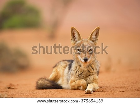 Young jackal lying on red sand of Sossusvlei, with dune and green bush in background, Sossusvlei, Namibia, Africa