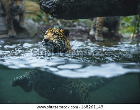 Young Jaguar swimming in the water - stock photo