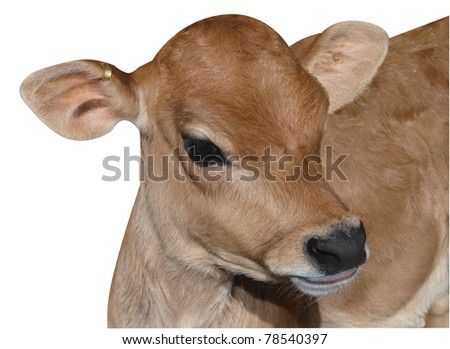 Young Jersey Calf isolated with clipping path - stock photo