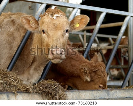 Young Jersey cow in cowshed eating hay from trough in stall - stock photo