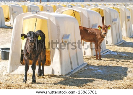 Young Jersey dairy calves in hutches. - stock photo