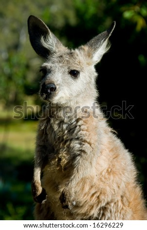 Young Joey kangaroo standing up at attention - stock photo