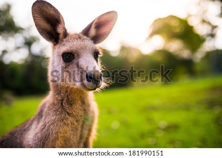 Young Kangaroo on east coast of Australia. Close up of head and face. Photographed in the wild - stock photo