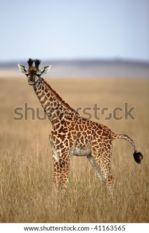 Young Kenyan Giraffe in the wide open plains of the Serengeti in the Masai Mara National Reserve in Kenya.