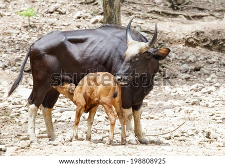 young kid gaurs drinking milk from mother guars - stock photo