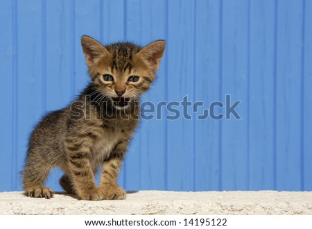 young kitten meowing in front of a blue background