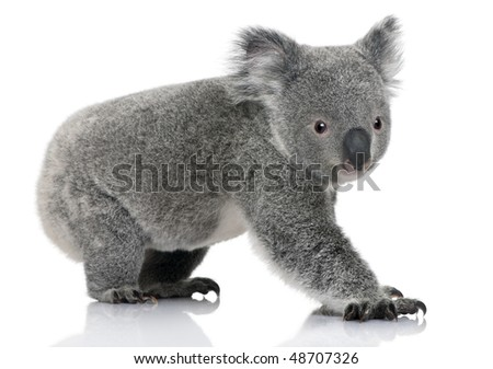 Young koala, Phascolarctos cinereus, 14 months old, in front of white background - stock photo