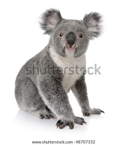 Young koala, Phascolarctos cinereus, 14 months old, sitting in front of white background - stock photo