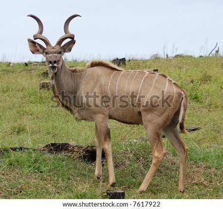 Young kudu male - stock photo