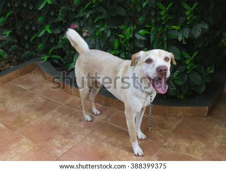 Young labrador in the garden - stock photo