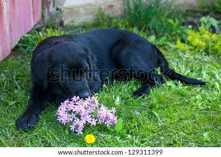 young labrador on grass - stock photo