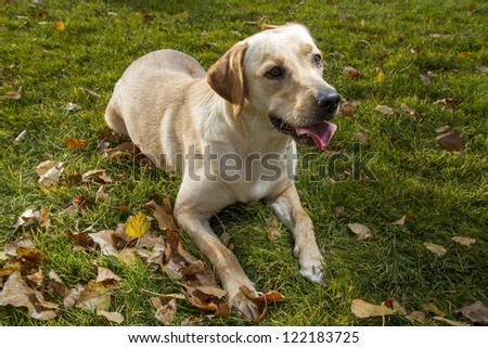 Young Labrador Retriever in a fall park - stock photo