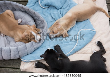 Young Labrador Retriever Mix Puppies Playing Outside
