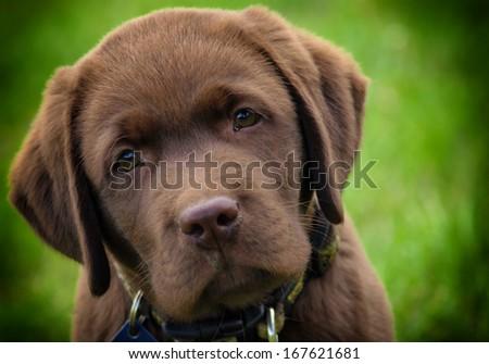 young labrador retriever puppy - stock photo