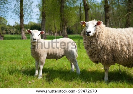young lamb - stock photo