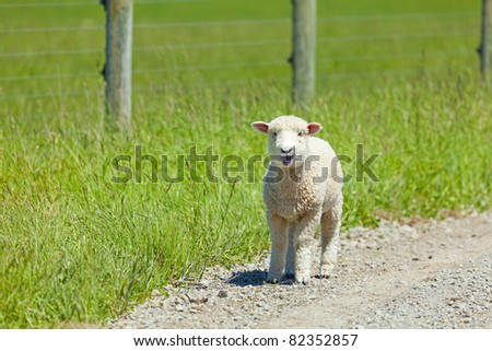 Young lamb on the road after escaping the fences - stock photo