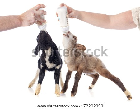 young lamb sucking a bottle feed in front of white background - stock photo