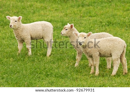 young lambs on green grass - stock photo