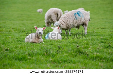 Young Lambs sitting on the grass while the Ewes graze - stock photo