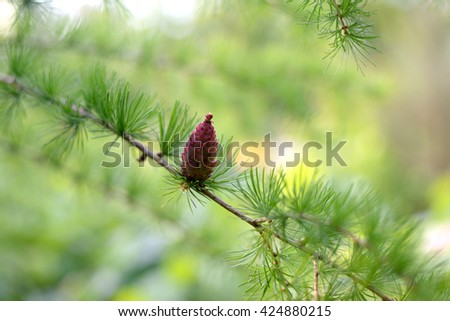 Young larch cone - stock photo
