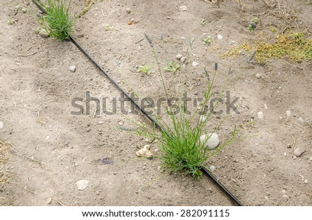 Young Lavender Plant with Drip Irrigation System - stock photo
