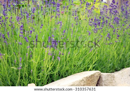 Young lavender with petal flowers. Eco-friendly, herbal formal garden backyard. Herbarium.  - stock photo