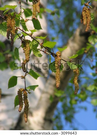 Young leafs of a birch - stock photo