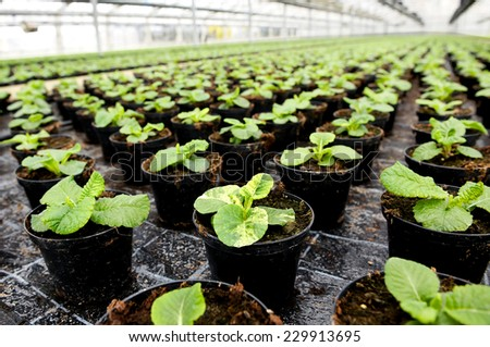 Young leafy ornamental plants being cultivated in flowerpots in a hothouse at a nursery or farm for retail as house or garden plants standing in long receding rows - stock photo