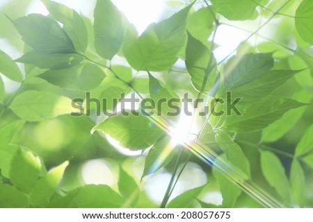Young Leaves And Sunshine Coming Through Them - stock photo