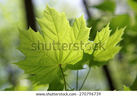 Young leaves of maple in sunny day. - stock photo
