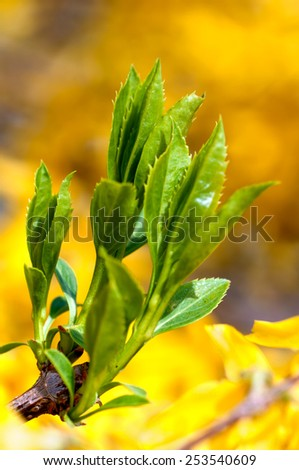 young leaves of the Bush Forsythia blooming in the spring - stock photo
