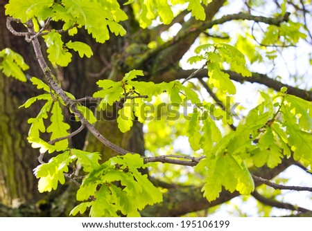 Young leaves on old oak tree in the spring - stock photo