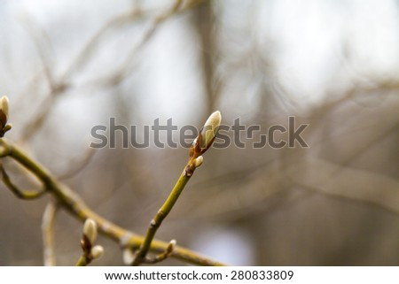 Young leaves on trees appear from kidneys in the spring - stock photo