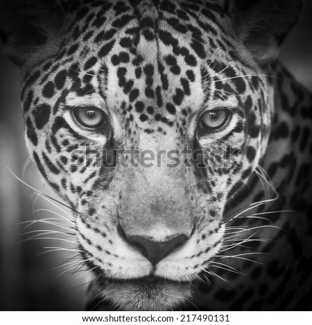 young leopard - stock photo