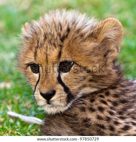 Young leopard baby  seen in head closeup