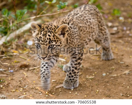 Young leopard cub on the prowl - stock photo