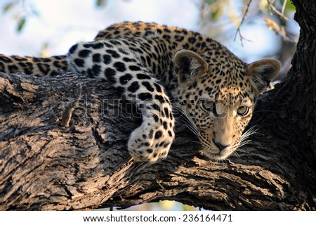 Young leopard resting in tree. - stock photo