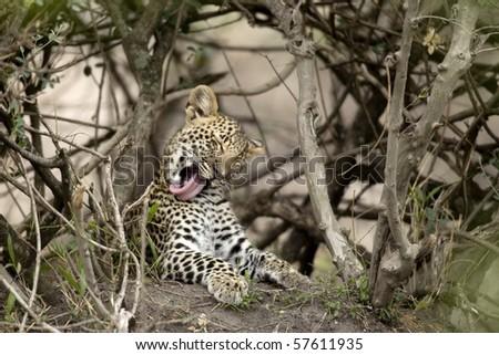 Young leopard yawning in Serengeti, Tanzania, Africa - stock photo