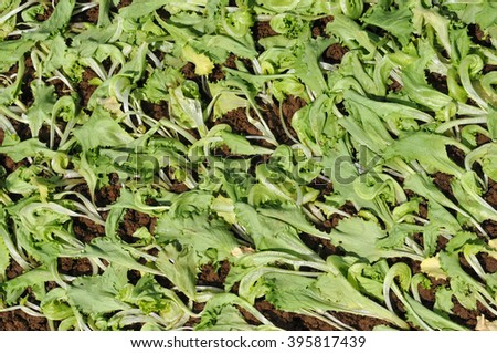 Young lettuce plants in a farm starting to grow. - stock photo