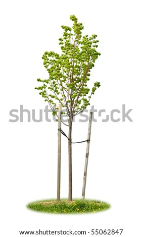 Young linden tree held with wooden stakes isolated on white background - stock photo