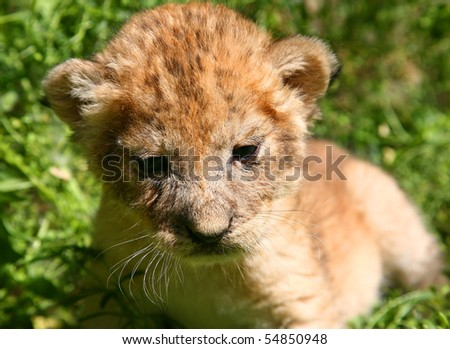 Young lion against a grass - stock photo